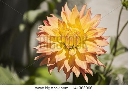 Peach and yellow dahlia with foilage in sunlight