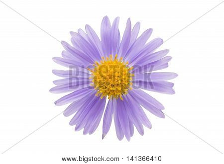 small chrysanthemum flowers on a white background