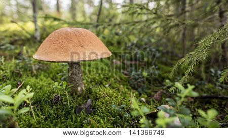Edible mushrooms (Boletus red) with an orange hat in the moss among firs in a forest