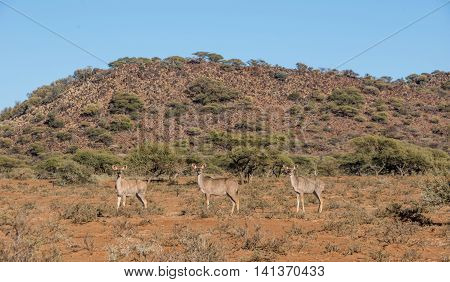 Three female Kudu antelopes standing in Southern African savanna