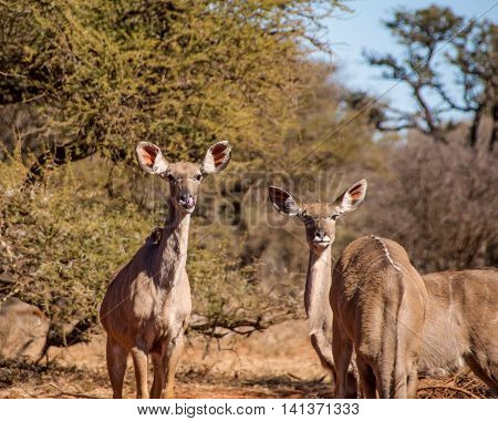 A group of female Kudu antelopes at a watering hole in Southern African savanna