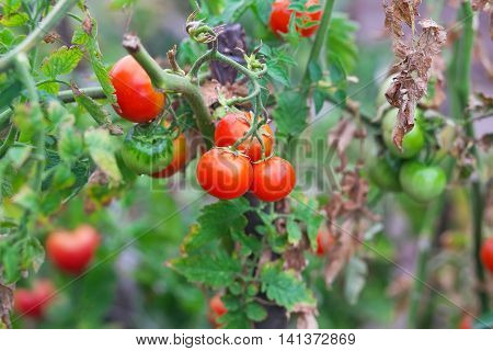 Small tasty tomatoes on a branches growing in a greenhouse on a garden