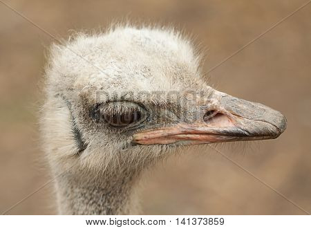 photo portrait of an alert male Ostrich