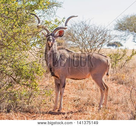 Kudu Bull standing in Southern African savanna