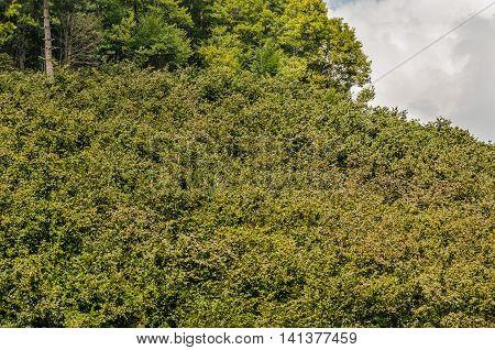 Hazel nut tree plantation in the Black Sea region of Turkey