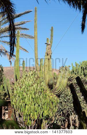 Giant Organ Pipe cactus on Fuerteventura Canary Islands Spain