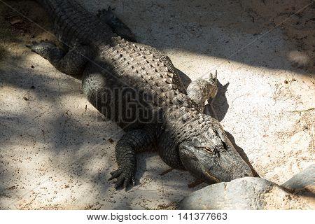 a dangerous big aligator in Oasis Park on Fuerteventura Canary Islands