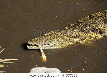 a dangerous Crocodile in Oasis Park on Fuerteventura Canary Island