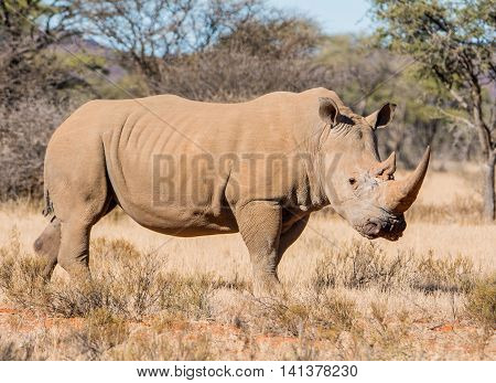 White Rhinoceros standing in Southern African savanna