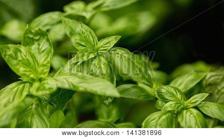 fresh basil leaves green basil leaves ready to taste the tasty kitchen recipes herb background