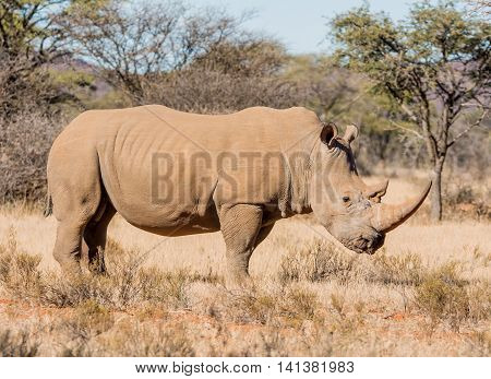 White Rhinoceros standing in Southern African savanna