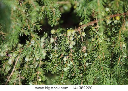 Berries ripen on the branches of a juniper.