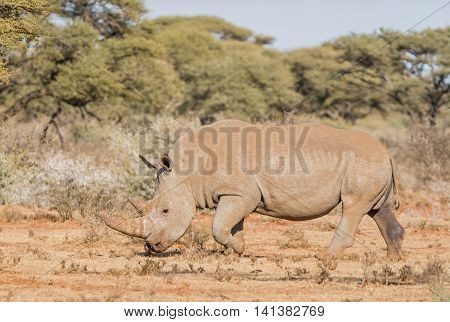 White Rhinoceros walking in Southern African savanna