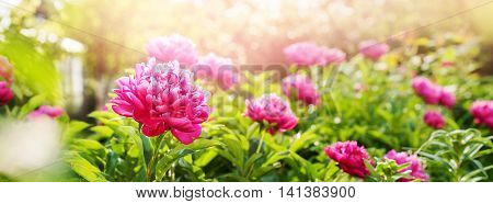Peonies Fuchsia Colour Summer Green Garden Banner