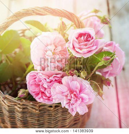 Dog Rose Pink Rosa Canina Basket Flowers Toned