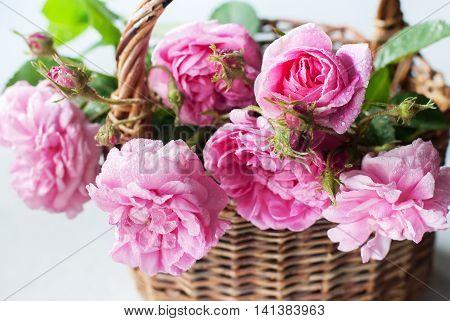 Dog Rose Pink Rosa Canina Flowers Female Present