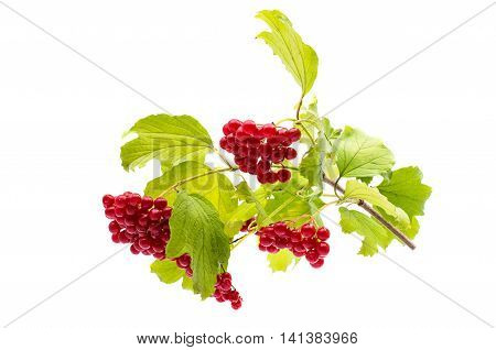 branch of viburnum  food  on a white background