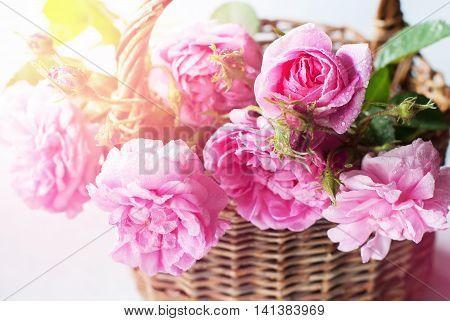 Dog Rose Pink Rosa Canina Flowers Shine Toned