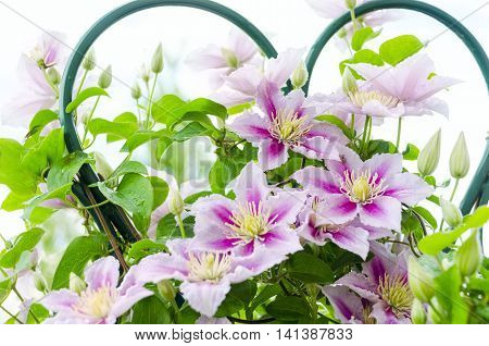 Clematis flower on a fence. Close-up shot with beautiful bokeh. Clematis cultivar 'Piilu'
