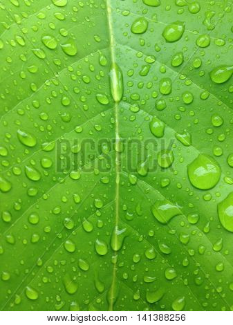 The rainy season water droplets on the leaves