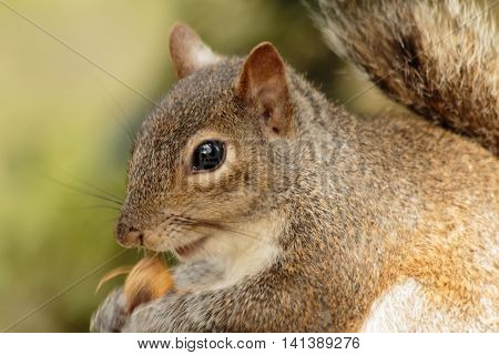 Fat Brown Squirrel eating a nut on Golden Summer Background, sharply featuring reflective black eye and pink open mouth, Close up zoom.