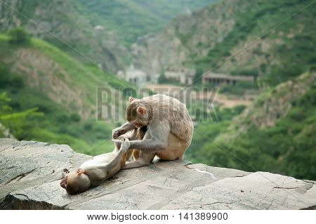 Mother monkey grooming for her baby near Galta Temple Galwar Bagh Monkey Temple in Jaipur India. The temple is famous for large troop of monkeys who live here.