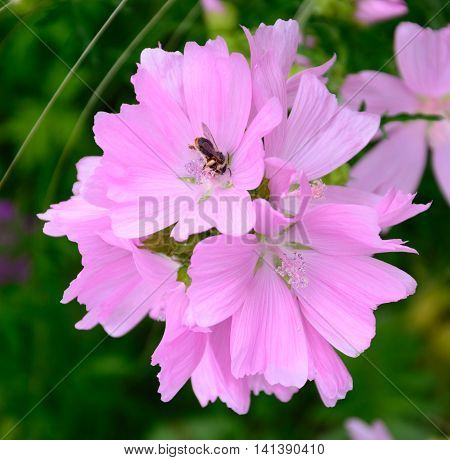 Bee on an inflorescence of pink flowers