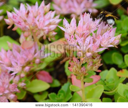 Bumblebee on an inflorescence of pink flowers