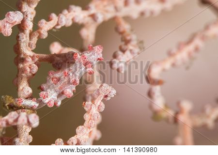 The Hiding Pink Pygmy Seahorse In The Pink Seafan Coral