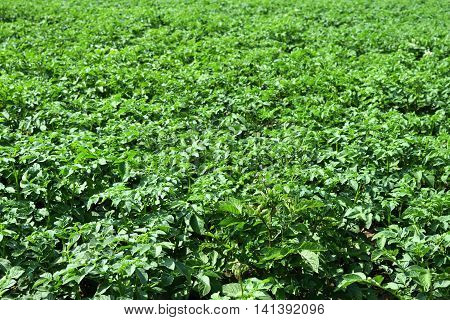 the growing green potatoes in the field