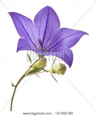 Blue flower bellflowers on white background . Campanula