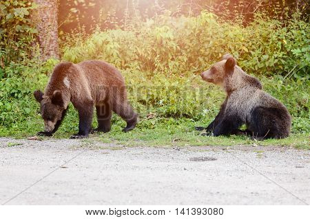 Two Young Bears Came Out Of The Woods