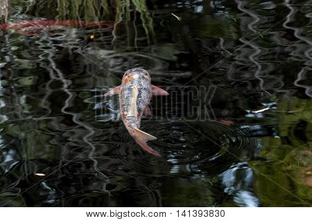 Single Large Grey and Pink Koi Swims Away on Rippling Reflection Pond featuring Lily Pads