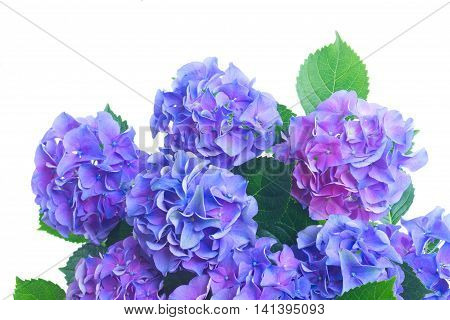 blue and violet fresh hortensia flowers close up isolated on white background