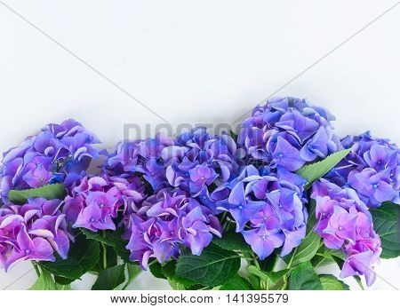 blue and violet hortensia flowers border on white with copy space