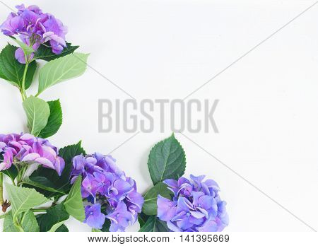 blue and violet hortensia flowers on white with copy space