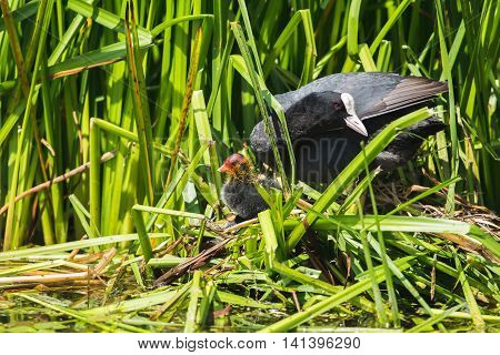 Common Coot (fulica Atra) Parent With Chick On Nest, Leiden, Zuid-holland, Netherlands