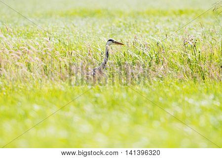 Grey Heron (ardea Cinerea) Sideview In Grass. Leiden. Zuid-holland. The Netherlands.
