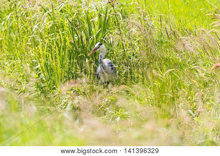 Grey Heron (ardea Cinerea) Looking For Food In Summer In A Meadow