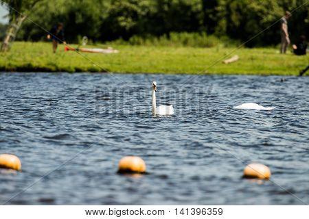Mute Swan (cygnus Olor), Swimming, Leiden, The Netherlands, July