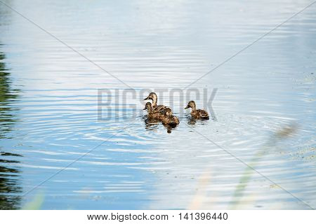 Mother Mallard Duck With Three Youngsters Swimming In Ditch In Summer, Leiden, The Netherlands