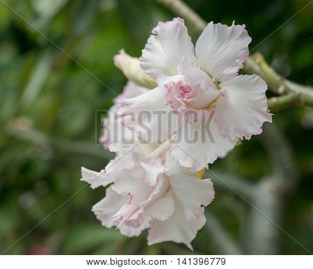 Desert Rose Flower, Desert Rose, Mock Azalea In National Garden, Selective Focus