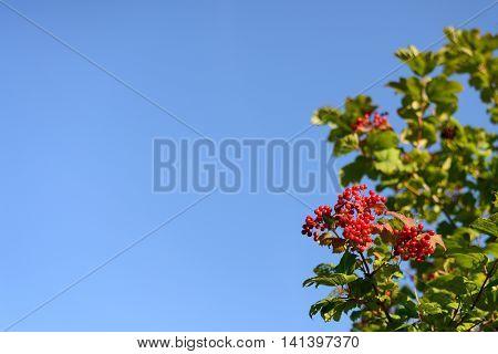 Viburnum bush on a background of blue sky