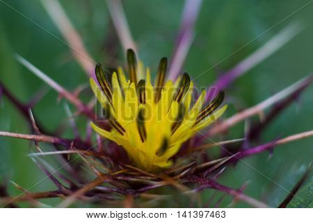 Macro of a holy thistle - Cnicus benedictus