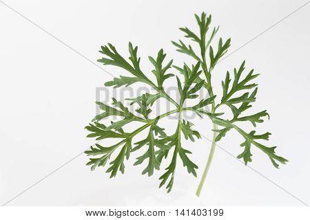 Sagebrush or absinthe, twig isolated on white background