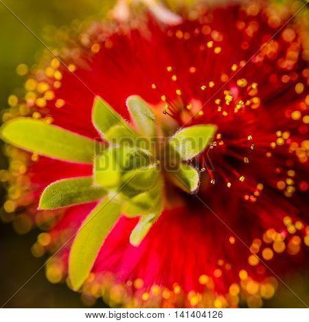 Crimson Bottlebrush Bloom