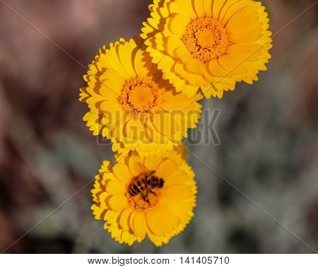 Triple Marigold With Honeybee