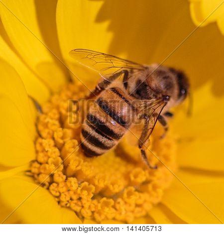 Closeup Of Honeybee On Marigold