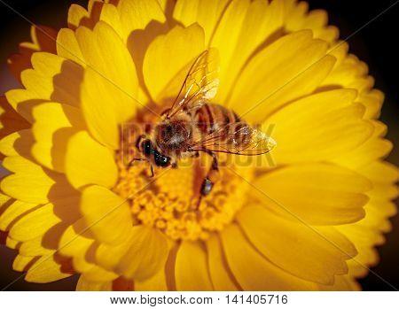 Honeybee Polinating Marigold