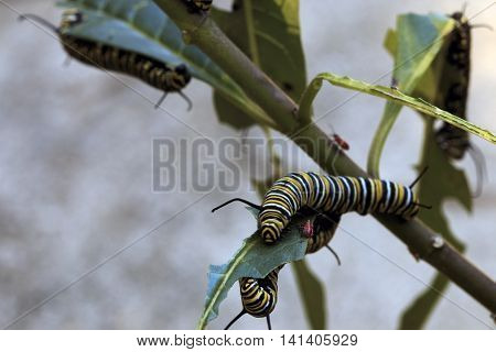 Monarch Caterpillar and Red Aphids eating Butterfly Weed shot in Macro